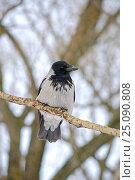 Ворона серая (Hooded Crow) на дереве. Стоковое фото, фотограф Мария Сидельникова / Фотобанк Лори