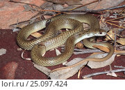 New species of King brown snake {Pseudechis sp} NT, Australia. Стоковое фото, фотограф Robert Valentic / Nature Picture Library / Фотобанк Лори