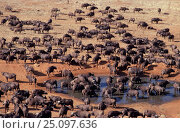 African buffalo herd at waterhole {Syncerus caffer} Keny. Стоковое фото, фотограф Jabruson / Nature Picture Library / Фотобанк Лори
