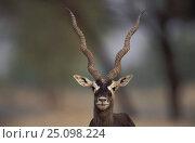 Blackbuck male portrait {Antilope cervicapra} Thar desert Rajasthan India. Стоковое фото, фотограф Bernard Castelein / Nature Picture Library / Фотобанк Лори