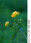 Купить «Globeflower {Trollius europaeus} Vidzeme, Latvia Launkaine», фото № 25100380, снято 18 июля 2018 г. (c) Nature Picture Library / Фотобанк Лори