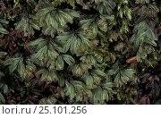 Купить «Wilsons filmy fern {Hymenophyllum wilsonii} Scotland UK», фото № 25101256, снято 17 августа 2018 г. (c) Nature Picture Library / Фотобанк Лори