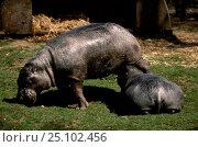 Pygmy hippopotamus suckling young (Choeropsis liberiensis) captive. Стоковое фото, фотограф Georgette Douwma / Nature Picture Library / Фотобанк Лори