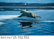 Купить «Polar bear leaping across ice floe {Ursus maritimus} Hudson Bay Canada», фото № 25102552, снято 3 июля 2020 г. (c) Nature Picture Library / Фотобанк Лори