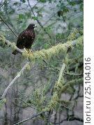 Купить «Galapagos hawk {Buteo galapagoensis} in tree Isabela Is, Galapagos Islands», фото № 25104016, снято 5 июля 2020 г. (c) Nature Picture Library / Фотобанк Лори