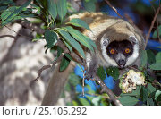 Купить «Female Mongoose lemur {Lemur mongoz} Tsiombikibo Forest North West Madagascar VU», фото № 25105292, снято 22 сентября 2018 г. (c) Nature Picture Library / Фотобанк Лори