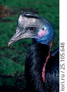 Купить «Female Dwarf cassowary captive {Casuarius bennetti} found New Guinea New Britain Australia», фото № 25105648, снято 16 октября 2019 г. (c) Nature Picture Library / Фотобанк Лори