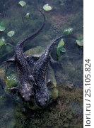 Купить «Two Sharp ribbed salamanders {Pleurodeles walti} Delta del Ebro, Spain», фото № 25105824, снято 26 сентября 2018 г. (c) Nature Picture Library / Фотобанк Лори