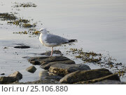 Купить «Seagull standing on the stones in the morning, Locmariaquer harbours, Morbihan, Brittany France.», фото № 25106880, снято 26 мая 2018 г. (c) Nature Picture Library / Фотобанк Лори