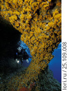 Купить «Diver at entrance of Grotta della Madonnina (The cave of the small Madonna), Sardinia. The walls in the entrance are completely covered with orange Asteroides Calycularis. Model released.», фото № 25109008, снято 25 мая 2018 г. (c) Nature Picture Library / Фотобанк Лори