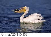 American White Pelican (Pelecanus erythrorhynchos) eating fish, Sanibel Island, Florida, USA. Стоковое фото, фотограф Peter Lewis / Nature Picture Library / Фотобанк Лори