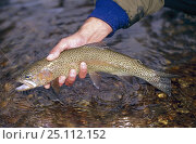 Купить «Holding a trout caught in Montana, USA.», фото № 25112152, снято 25 июня 2019 г. (c) Nature Picture Library / Фотобанк Лори