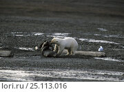 Купить «Polar bear (Ursus maritimus) attacking a seal, Spitsbergen, Svalbard, Norway, 1998.», фото № 25113016, снято 17 сентября 2019 г. (c) Nature Picture Library / Фотобанк Лори
