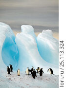 Купить «A group of chinstrap penguins (Pygoscelis antarctica) on an iceberg off South Georgia Island, March 2003.», фото № 25113324, снято 16 июля 2019 г. (c) Nature Picture Library / Фотобанк Лори