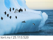 Купить «Chinstrap penguins (Pygoscelis antarctica) on an iceberg with some jumping into the sea, off South Georgia Island, March 2003.», фото № 25113520, снято 15 июля 2019 г. (c) Nature Picture Library / Фотобанк Лори