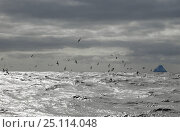 Купить «Prions flying over the sea, South Georgia.», фото № 25114048, снято 16 июля 2019 г. (c) Nature Picture Library / Фотобанк Лори