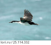 Купить «Blue-eyed cormorant (Phalacrocorax atriceps) in flight, South Georgia.», фото № 25114332, снято 6 апреля 2020 г. (c) Nature Picture Library / Фотобанк Лори