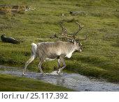 Купить «Reindeer (Rangifer tarandus) crossing a small river with a fur seal (Arctocephalus gazella) beyond, South Georgia.», фото № 25117392, снято 16 июля 2019 г. (c) Nature Picture Library / Фотобанк Лори