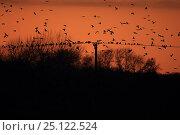 Купить «Rook (Corvus frugilegus) flock in flight, Norfolk, England, UK, December.», фото № 25122524, снято 23 сентября 2018 г. (c) Nature Picture Library / Фотобанк Лори