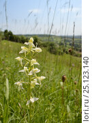 Купить «Greater butterfly orchid (Platanthera chlorantha) flowering on grassland meadow cleared of scrub to improve the habitat for bees and other pollinators...», фото № 25123140, снято 24 сентября 2018 г. (c) Nature Picture Library / Фотобанк Лори