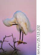 Купить «Snowy egret  (Egretta thula) preening at dusk, La Pampa, Argentina», фото № 25123232, снято 11 июля 2020 г. (c) Nature Picture Library / Фотобанк Лори