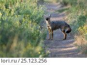 Argentine grey fox (Pseudalopex griseus)  La Pampa, Argentina. Стоковое фото, фотограф Gabriel Rojo / Nature Picture Library / Фотобанк Лори