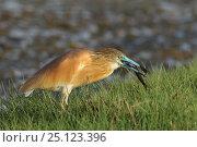 Купить «Squacco heron (Ardeola ralloides) feeding on fish, Oman, April», фото № 25123396, снято 16 июня 2019 г. (c) Nature Picture Library / Фотобанк Лори