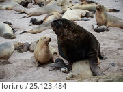 Купить «New Zealand sea lion (Phocarctos hookeri) pup is crushed under male's flipper and later dies from the injuries sustained by mating adults at the Sandy...», фото № 25123484, снято 5 апреля 2020 г. (c) Nature Picture Library / Фотобанк Лори