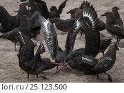 Subantarctic skua (Catharacta antarctica) fight over afterbirth at... Редакционное фото, фотограф Richard Robinson / Nature Picture Library / Фотобанк Лори