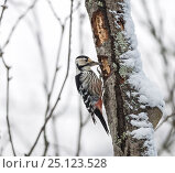 Купить «White-backed woodpecker (Dendrocopos leucotos),female, Finland, January.», фото № 25123528, снято 17 августа 2018 г. (c) Nature Picture Library / Фотобанк Лори