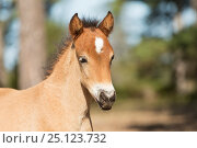 Купить «Wild Gotland russ foal / colt, the only pony native to Sweden, Gotland Island, Sweden.», фото № 25123732, снято 17 августа 2018 г. (c) Nature Picture Library / Фотобанк Лори