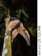 Northern tamandua (Tamandua mexicana) climbing down tree, Nicoya Peninsula, Costa Rica, April 2013. Стоковое фото, фотограф Nick Hawkins / Nature Picture Library / Фотобанк Лори