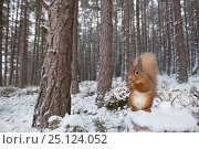 Купить «Red squirrel (Sciurus vulgaris) feeding in snowy Scots pine (Pinus sylvestris) forest, Cairngorms National Park, Scotland, UK, January.», фото № 25124052, снято 25 июня 2018 г. (c) Nature Picture Library / Фотобанк Лори