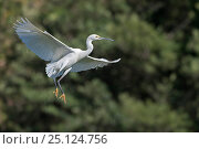 Купить «Dimorphic egret (Egretta dimorpha) in white phase, flying, Ankarafantsika National Park, Madagascar», фото № 25124756, снято 17 июня 2019 г. (c) Nature Picture Library / Фотобанк Лори