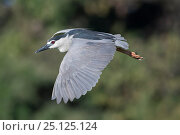 Купить «Black-crowned night heron (Nycticorax nycticorax) in flight, Ankarafantsika National Park, Madagascar», фото № 25125124, снято 17 июня 2019 г. (c) Nature Picture Library / Фотобанк Лори