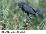 Купить «Black egret (Egretta ardesiaca) perching in reed bed, Ankarafantsika National Park, Madagascar», фото № 25125252, снято 17 июня 2019 г. (c) Nature Picture Library / Фотобанк Лори