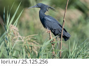 Купить «Black egret (Egretta ardesiaca) perching in reed bed, Ankarafantsika National Park, Madagascar», фото № 25125256, снято 17 июня 2019 г. (c) Nature Picture Library / Фотобанк Лори