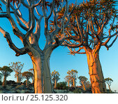 Quiver trees (Aloe dichotoma) at sunset, Namib Desert, Namibia. Стоковое фото, фотограф Jack Dykinga / Nature Picture Library / Фотобанк Лори