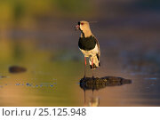 Southern lapwing (Vanellus chilensis) La Pampa , Argentina. Стоковое фото, фотограф Gabriel Rojo / Nature Picture Library / Фотобанк Лори