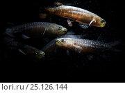 Купить «Giant kokopu (Galaxias argenteus) group of five, New Zealand. May.», фото № 25126144, снято 16 июля 2020 г. (c) Nature Picture Library / Фотобанк Лори