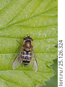 Купить «Hoverfly (Syrphus torvus) female, Brockley Cemetery, Lewisham, London. May.», фото № 25126324, снято 22 августа 2018 г. (c) Nature Picture Library / Фотобанк Лори