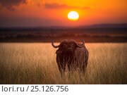 Купить «African buffalo (Syncerus caffer) lone bull set in a landscape with beautiful sunset, Masai Mara NR, Kenya», фото № 25126756, снято 15 августа 2018 г. (c) Nature Picture Library / Фотобанк Лори