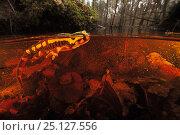Купить «Fire salamander (Salamandra salamandra) in water,  Burgundy, France, March.», фото № 25127556, снято 26 мая 2019 г. (c) Nature Picture Library / Фотобанк Лори