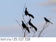 Купить «Great tailed grackle (Quiscalus mexicanus) displaying, South Texas, USA, April.», фото № 25127728, снято 23 января 2019 г. (c) Nature Picture Library / Фотобанк Лори