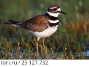 Купить «Killdeer (Charadrius vociferus) on ground, South Texas, USA, April.», фото № 25127732, снято 23 января 2019 г. (c) Nature Picture Library / Фотобанк Лори