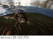 Купить «European toad (Bufo bufo) pair in amplexus in breeding pool in the Alps, France, June.», фото № 25127772, снято 1 апреля 2020 г. (c) Nature Picture Library / Фотобанк Лори