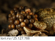 Купить «Midwife Toad (Alytes obstetricans) male carrying eggs wrapped around his back legs until they hatch, Burgundy, France, June.», фото № 25127788, снято 31 марта 2020 г. (c) Nature Picture Library / Фотобанк Лори