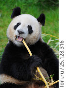 Купить «RF - Giant panda (Ailuropoda melanoleuca) eating bamboo. Beauval zoo,  France.», фото № 25128316, снято 21 августа 2018 г. (c) Nature Picture Library / Фотобанк Лори