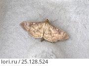Купить «Mother of Pearl moth (Pleuroptya ruralis) Wiltshire, UK», фото № 25128524, снято 24 мая 2018 г. (c) Nature Picture Library / Фотобанк Лори