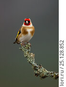 Купить «Goldfinch (Carduelis carduelis) perched on a branch, Cairngorms, Scotland, January.», фото № 25128852, снято 25 июня 2018 г. (c) Nature Picture Library / Фотобанк Лори